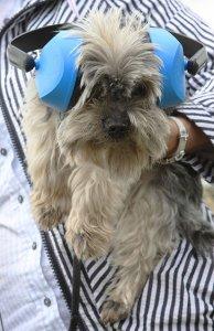 Yorkie mit Gehörschutz web.jpg
